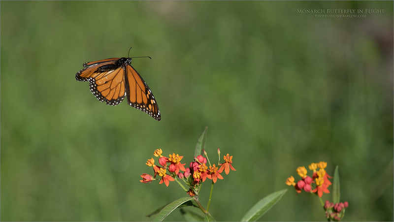 Monarch Butterfly in Flight<br /> Orlando, Florida<br /> <br /> ray@raymondbarlow.com<br /> Nikon D850 ,Nikkor 200-400mm f/4G ED-IF AF-S VR<br /> 1/5000s f/4.5 at 400.0mm iso640