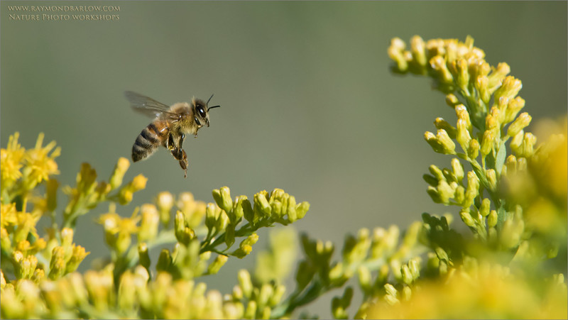 """Honey Bee in Flight<br /> Raymond's Ontario Nature Photography Tours<br /> <br />  <a href=""""http://www.raymondbarlow.com"""">http://www.raymondbarlow.com</a><br /> Nikon D810 ,Nikkor 200-400mm f/4G ED-IF AF-S VR<br /> 1/4000s f/7.1 at 400.0mm iso1600"""