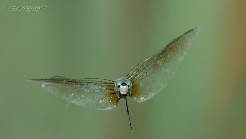 One leg Hanging!<br /> <br /> Dragonfly incoming.