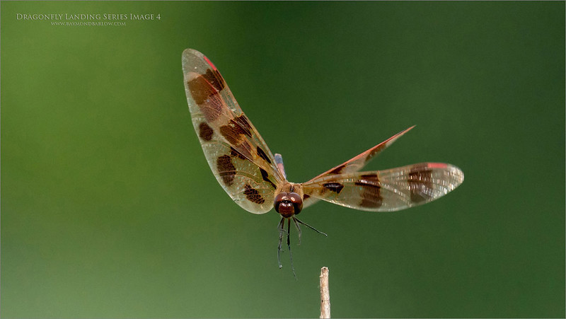 A 6  image series of a Landing dragonfly.  - Image 4
