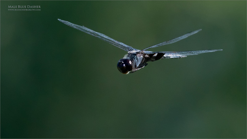 This Male Blue Dasher was buzzing around me non stop for about 20 minutes!  Hand held for this one., and wow, the Sony was amazing in tracking this subject!  2-600 = 1.4 tc.  iso 4000!