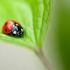 Ladybird on Clematis leaf