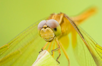Dragonfly in the Everglades
