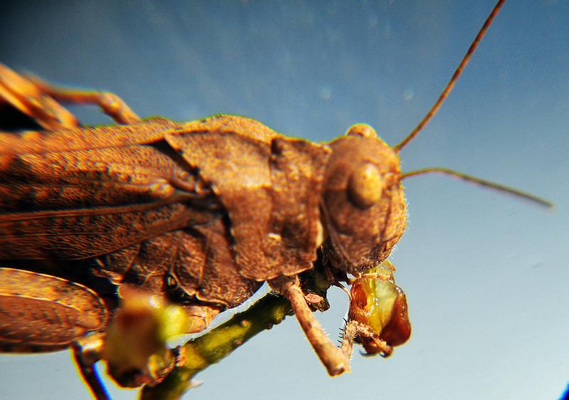A grasshopper eating a grape  vine stem .