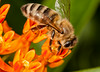 Honeybee on butterfly weed