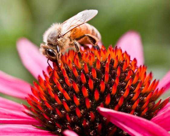 Honeybee on echinacea