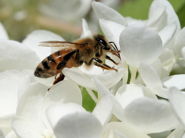 honeybee on a pg hydrangea