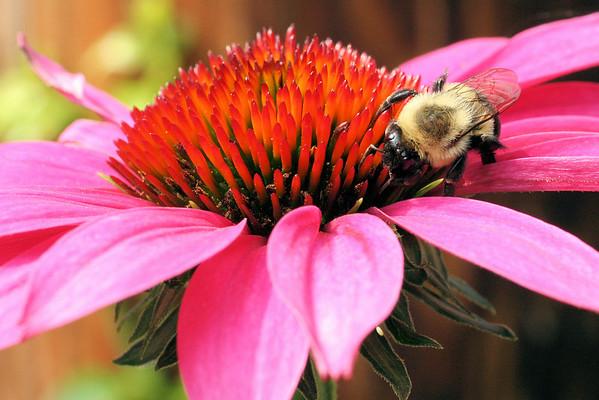 Bumblebee on echinacea