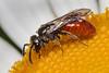 Tiny native bee, 5 x 1mm, maybe lasioglossum sphecodogastra