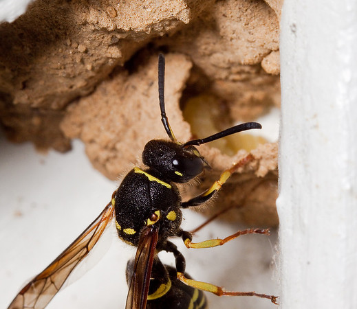 potter wasp building a nest