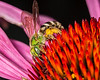 Native bee (agepostemon) on an echinacea