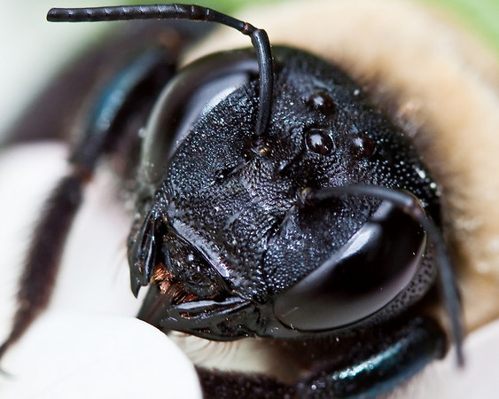 bumblebee in a pg hdrangia