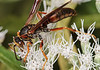Paper wasp on boneset