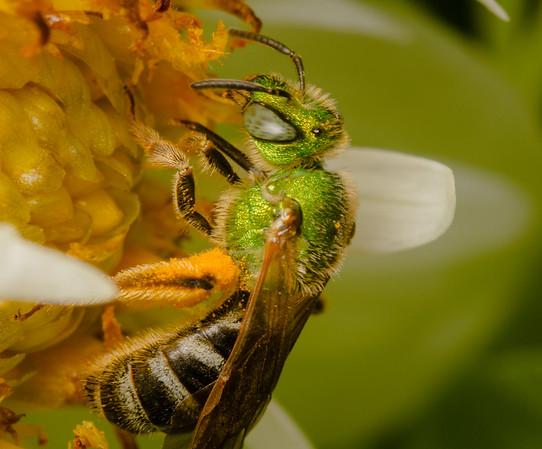A green sweat bee in a dahlia