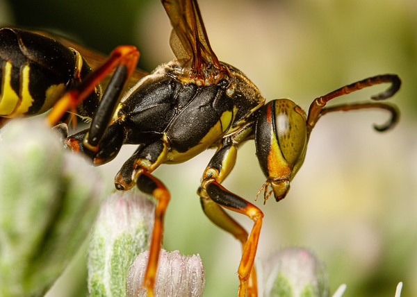 Norther paper wasp 1