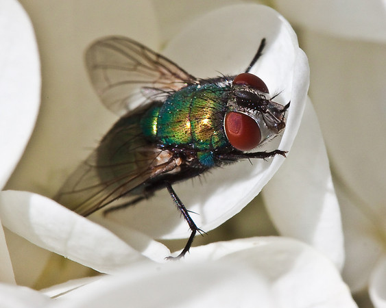 Green bottle fly on pg hydrangea