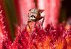 Very small fly drinking on a gaillardia