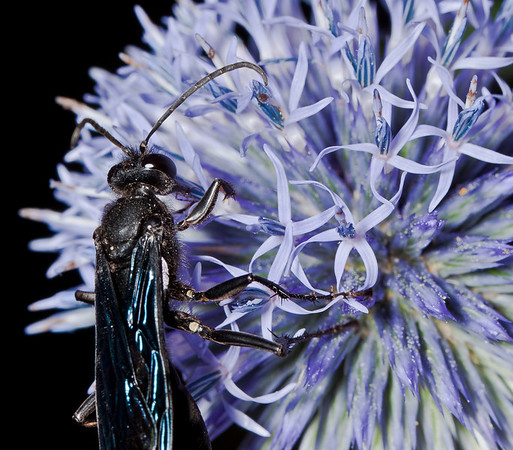 Wasp on an echinacea