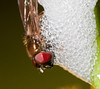 drowning hoverfly