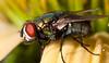 bottle fly on echinacea