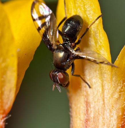small fly on gaillardia trumpet