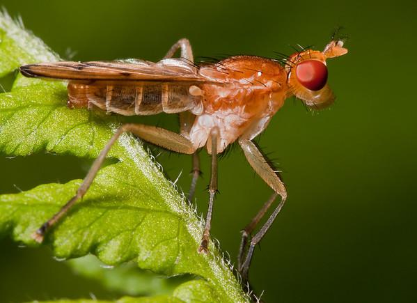 Marsh fly, Sciomyzidae, Adirondacks
