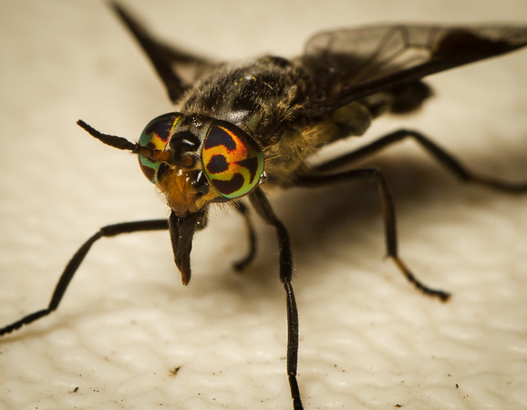 Deer fly head shot