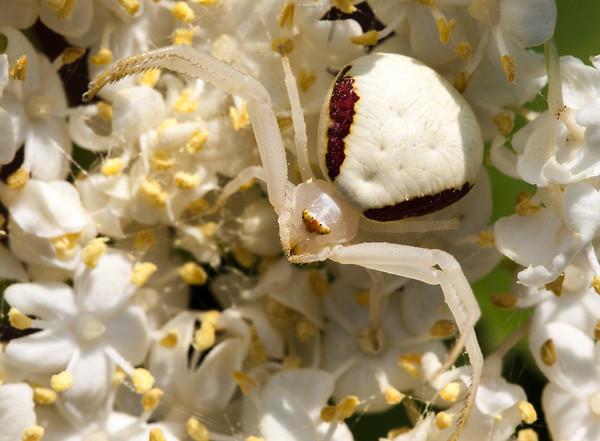 Female goldenrod spider, misumena vatia