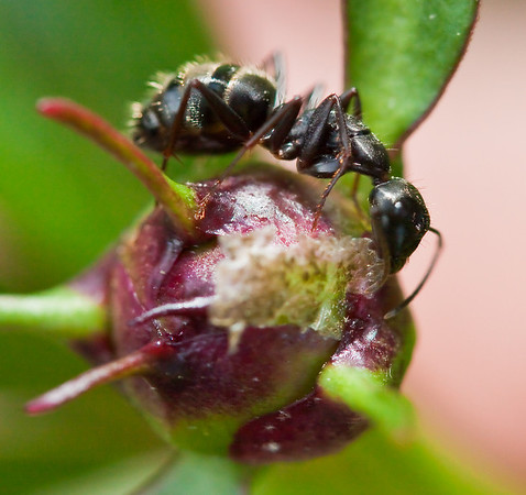 Ant eating outside membrane of a peony