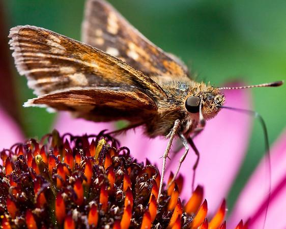 skipper butterfly on echinacea
