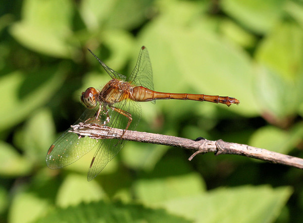 meadowhawk dragonfly 2
