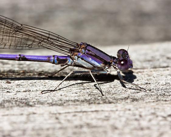 Violet tail damselfly, Adirondacks