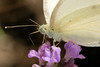 white cabbage butterfly on lavender 2