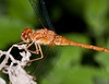 common meadowhawk