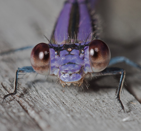 violet tail damselfly