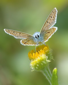 A Common Blue Butterfly at Decoy Heath