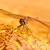 Common Darter Dragonfly Style