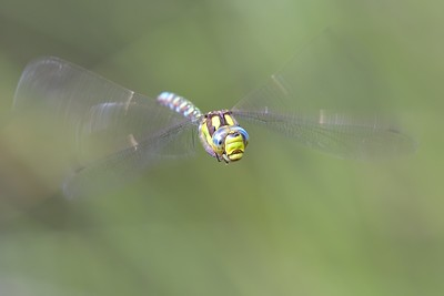Southern Hawker Dragonfly Head on at Sole Common