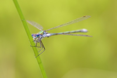 Emerald Damselfly at Sole Common