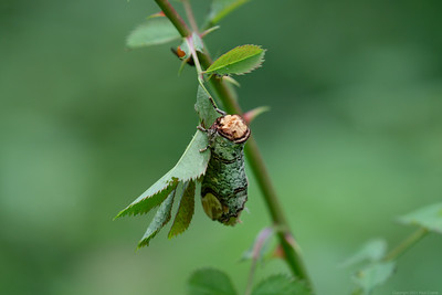 Buff Tip Moth at the Herbert Plantation 3