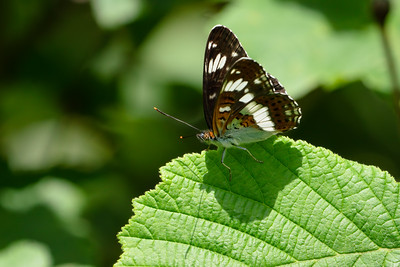 White Admiral butterfly at the Herbert Plantation 5