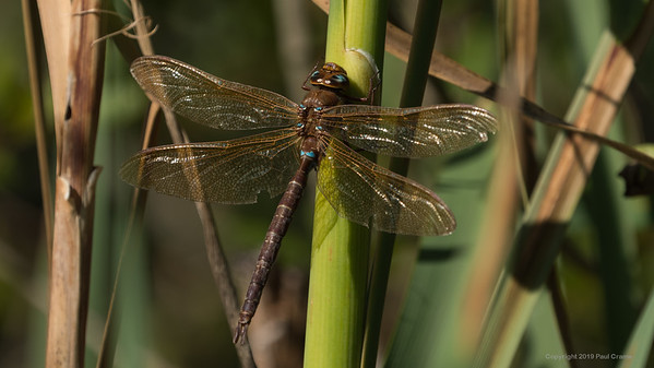 Brown Hawker Dragonfly at Decoy Heath