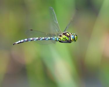 Southern Hawker Dragonfly at Kintbury