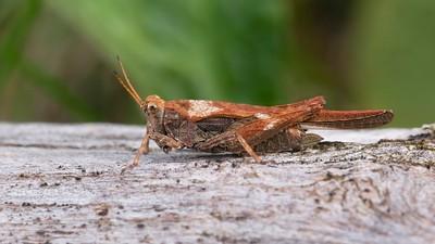 Rusty Grasshopper at Bowdown