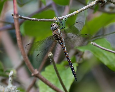 Migrant Hawker Dragonfly at Speen