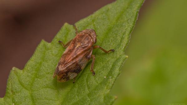 Shield Bug on green leaf
