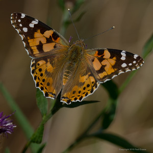 Painted Lady Butterfly 4 - Rhayader 2019