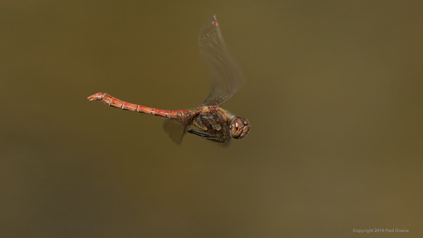 Common Darter Dragonfly at Decoy Heath