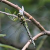 A Female Southern Hawker Dragonfly Consuming A Small White Butterfly at Farmoor