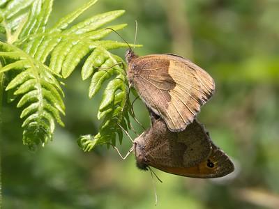 Meadow Brown Butterflies at Bowdown 24th June 2018